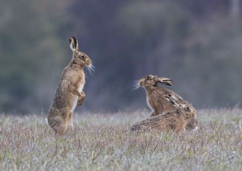 Mad April Hares Greetings Card